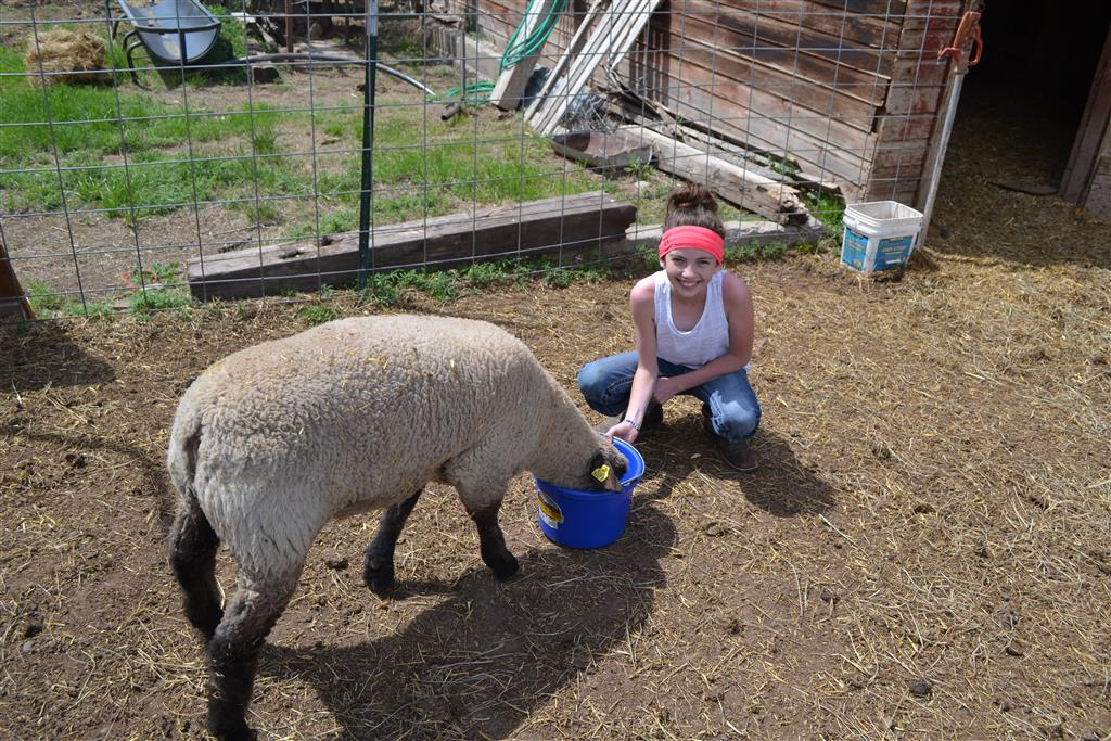 Sheep used for fun on the farm