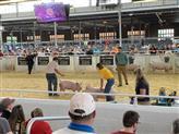 State Fair Swine Show